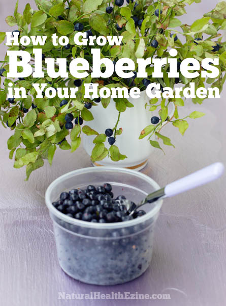 How To Grow Blueberries In Your Home Garden