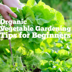 Organic Vegetable Gardening Tips For Beginners