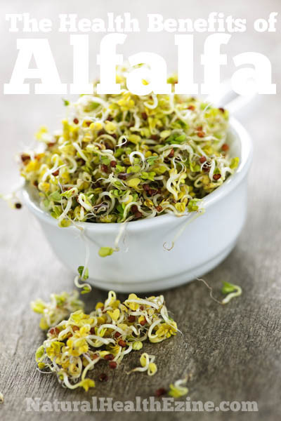 The Health Benefits Of Alfalfa
