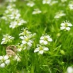 Health Benefits Of Irish Moss