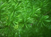 poisonous plants and pets asparagus fern
