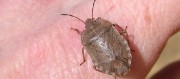 Organic Pest Control To Get Rid Of Stink Bugs