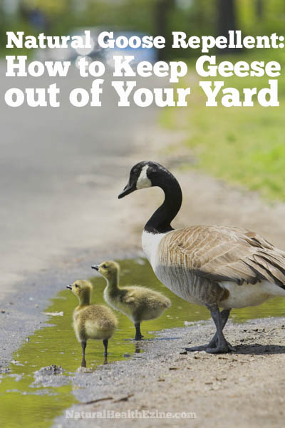 Natural Goose Repellent: How To Keep Geese Out Of Your Yard