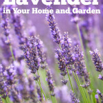 5 Ways to Use Lavender in Your Home and Garden