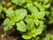 Different Types of Mint Essential Oils