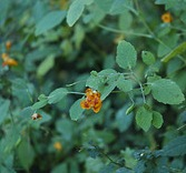 wild jewelweed