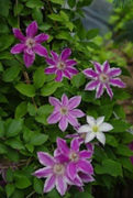 The Different Flowers That Make Up Bach Rescue Remedy