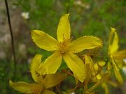 Arnica and St. John's Wort Liniment