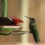 Natural Solutions For Your Hummingbird Feeder